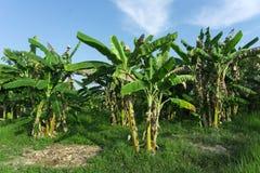 Bananen en banaanbloem op banaaninstallatie De bananenbomen riepen ook banaaninstallaties op organisch landbouwbedrijf in Kambodj Royalty-vrije Stock Foto's