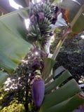 bananen en het hart van een banaan royalty-vrije stock afbeelding