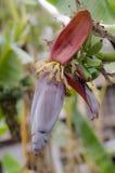 Bananen-Knospe Lizenzfreie Stockfotos