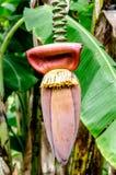 Bananen-Knospe auf Baum mit weichem grünem Hintergrund Stockfoto
