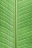 Bananen-Laubbaum Stockfotografie