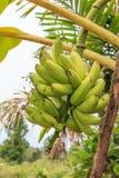Bananen op Boom Royalty-vrije Stock Afbeelding