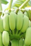 Bananen op de boom Stock Foto's