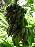 Bananen in Tuin van Eden, Maui, Hawaï Royalty-vrije Stock Afbeeldingen