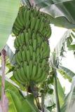 Bananenanlage vor Ernte lizenzfreies stockbild