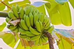 Bananenbündel Stockbild