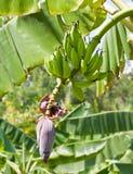 Bananenbündel auf Baum Stockfoto