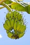 Bananenbündel auf Baum im Garten Lizenzfreies Stockbild