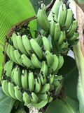 Bananenbündel im Baum Lizenzfreies Stockfoto