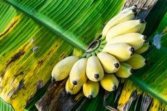 Bananenbündel reif stockbilder