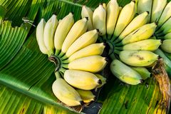 Bananenbündel reif stockfoto
