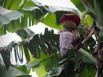 Bananenbündel und -knospe frisch auf Bananenstaude im Garten Lizenzfreies Stockbild
