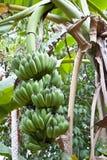 Bananenbaum Lizenzfreie Stockfotos