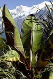 Bananenbaum Stockfotografie