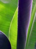 Bananenbaum Lizenzfreies Stockfoto