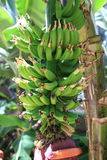 Bananenbaum an den Callaway Gärten Stockbilder