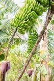 Bananenbaum mit einem Bündel Bananen Stockbilder