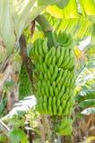 Bananenbaum mit einem Bündel Bananen Lizenzfreies Stockbild