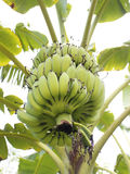 Bananenbaum mit einem Bündel Bananen Stockfotos