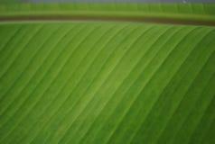 Bananenblätter Lizenzfreie Stockfotografie
