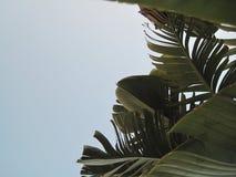 Bananenblätter gegen den Himmel stockbilder