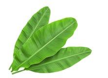 Bananenblätter lokalisiert über Weiß stockbild