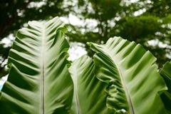 Bananenblätter mit grüner Natur verlässt Hintergrund Lizenzfreies Stockbild