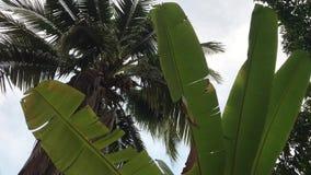 Bananenblätter schwingen, grüne Kokosnussfrucht am Baum stock video footage