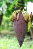 Bananenblüte Lizenzfreie Stockfotografie