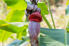 Bananenblüte lizenzfreie stockbilder