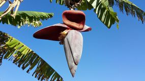 Bananenblüte auf Bananenstaude Stockfotografie
