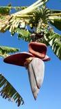 Bananenblüte auf Bananenstaude Stockbild