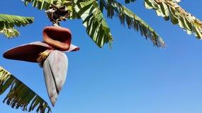 Bananenblüte auf Bananenstaude Lizenzfreies Stockfoto