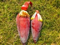 Bananenblüte auf dem Gebiet stockbilder