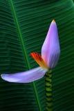 Bananenblüte des Bananenblattes Stockbild