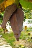 Bananenblüte von Thailand Stockbild