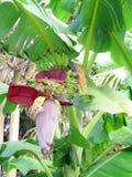 Bananenblütenstand, teilweise geöffnet Stockbild