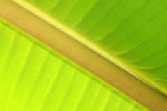 Bananenblatt Stockfotografie