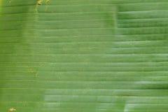 Bananenblatt Stockfotos