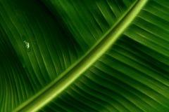Bananenblatt Lizenzfreie Stockfotografie