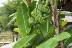 Bananenblatt Lizenzfreie Stockfotos