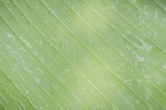 Bananenblatt Stockfoto