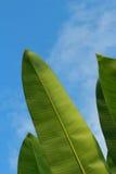 Bananenblatt als Hintergrund der Himmel Stockbild