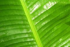 Bananenblatt erneuert Regentropfen nach Regen Lizenzfreie Stockbilder
