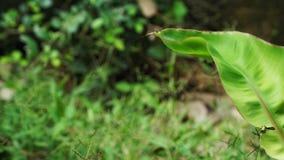 Bananenblatt im Garten stockbilder