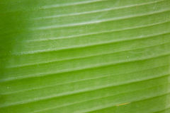 Bananenblatt, natürlicher Hintergrund Stockbild
