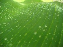 Bananenblatt u. Morgenregen Stockbild