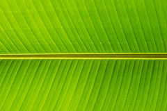 Bananenblattabschluß oben Lizenzfreies Stockbild