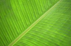 Bananenblattgrün nach dem Regen und dem Tau Stockbilder