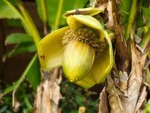 Bananenblume Lizenzfreies Stockbild